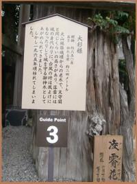 P9100078_oosugi15_4