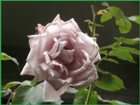 P6090525_pinku