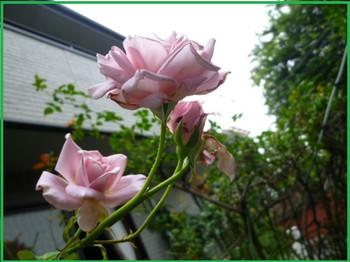 P1270309_pinku_2