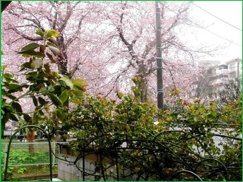 Sakuraburogu_3