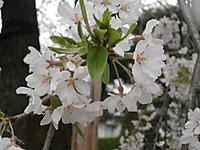 P4171303sakura