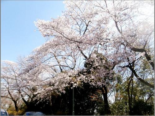 P3302472sakura_3