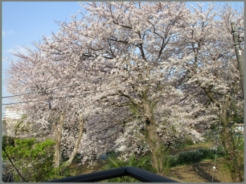 Img_0132-sakura