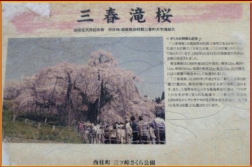 P1480850sakura