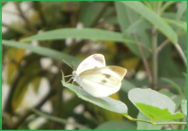 モンシロチョウの画像 p1_17