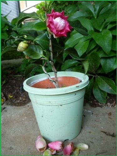 P1570609-bonsai